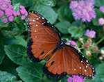 Queen Butterfly (Danaus gulippus)