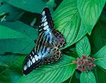 Malaysian Butterfly (Parthenos sylvia)