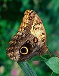 Owl Butterfly (Caligo euriliochus)
