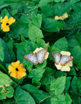 White Peacock (Anartia jatrophae)