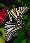 Zebra Swallowtail Butterflies Mating (Eurytides marcellus), Westford, MA