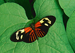 Heliconius erato Butterfly from South America