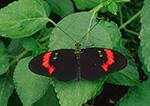 Columbian Butterfly (Heliconius melpomene)