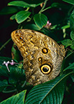 Owl Butterfly from South America (Caligo atreus)