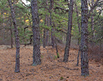 Pitch Pine Forest, Pine Barrens, Pinelands National Reserve, near Wharton State Forest, Burlington County, Bass River, NJ