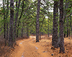 Road through Pitch Pine Forest, Pine Barrens, Pinelands National Reserve, Wharton State Forest, Burlington County, Bass River, NJ