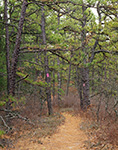 Batona Trail through Pitch Pine Forest, Pine Barrens, Pinelands National Reserve, Wharton State Forest, Burlington County, Washington, NJ