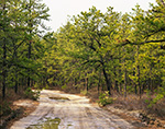 Dirt Road through Pitch Pine Forest, Pine Barrens, Pinelands National Reserve, Wharton State Forest, Washington, NJ
