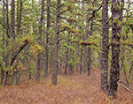 Inside the Pitch Pine Forest, Pine Barrens, Pinelands National Reserve, Wharton State Forest, Washington, NJ