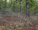 Forest of Scrub Oak, Huckleberry and Pitch Pine, Pine Barrens, Pinelands National Reserve, Wharton State Forest, Burlington County, Washington, NJ