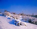 Fresh Snow on Stonewall and Blueberry Bushes under Sunny, Blue Skies, Royalston, MA