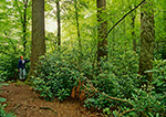 Old Growth Forest, Sims Creek, Moses Cone Memorial Park, Pisgah National Forest, NC