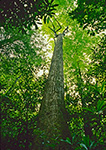 Giant Tulip Tree, Linville Gorge, Pisgah National Forest, NC