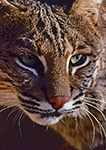 Bobcat (Felis rufus) 