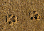 Eastern Coyote Tracks in Sand, Front Foot on Left, Hind Foot on Right