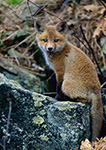 Red Fox Kit (Vulpes vulpes), Bearsden Conservation Area, Athol, MA