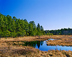Freshwater Wetlands and Pitch Pine Forest, Pine Barrens, Wharton State Forest, Pinelands National Reserve, Bass River, NJ