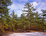 White Sand and Pitch Pines, Pine Barrens, Wharton State Forest, Pinelands National Reserve, Washington, NJ