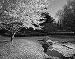 Flowering Cherry Tree in Spring at Blithewold Gardens and Arboretum, Bristol, RI