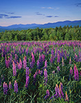 Lupines and White Mountains, Sugar Hill, NH