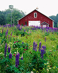 Wildflowers and Barn, Ashfield, Massachusetts