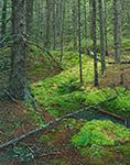 Spagnum Moss in Coastal Fog Forest, Crockett Cove Woods Preserve, Stonington, Maine