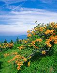 Flame Azalea on Andrews Bald, Great Smoky Mountains National Park, North Carolina