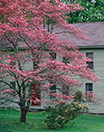 Pink Flowering Dogwood in Spring with Old Colonial-style Home in Background, Hampton, CT