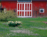 "Section Detail of Old Red Barn with White Trim with Daffodils and ""Pussytoes"" in Spring, Connecticut River Valley, Amherst, MA"