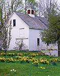 Old White Barn in Spring with Daffodils