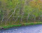 White Birches in Spring along Shore of Millers River, Pioneer Valley,  Erving, MA