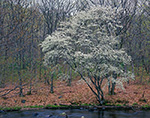 Shadbush (Serviceberry) in Full Bloom on Banks of Quabog River in Early Spring, Warren, MA
