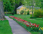 Multi-colored Tulips Line Sidewalk in Spring with Yellow House in Background, Connecticut River Valley,  Sunderland, MA