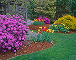 Tulips and Azaleas in Spring Garden, Brookfield, MA