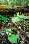 Lemon-scented Trillium & Showy Orchis along Ramsey Cascades Trail, Great Smoky Mountains National Park, TN