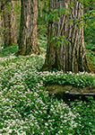 Old Growth Black Locusts and Fringed Phacelia, Great Smoky Mountains National Park, TN
