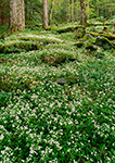 Old Growth Forest and Fringed Phacelia, Cove Hardwood Trail Great Smoky Mountains National Park, TN