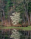 Shadbush (Serviceberry) Reflections in Full Bloom along Shoreline of Lake Rohunta, New Salem, MA