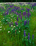 Field of Lupines and Daisies, Petersham, MA
