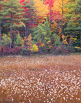 Cotton Grass, Bog, and Fall Colors, Ashby, MA