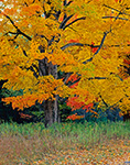 Sugar Maples in Fall, Quabbin Reservoir, New Salem, MA