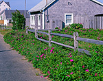 Beach Roses (Rosa rugosa) in Bloom along Split Rail Fence and Cedar-shingled Cottage, Martha's Vineyard, Oak Bluffs, MA
