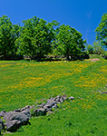 Field of Dandelions in Pasture with Stonewall in Spring, Washington, NH
