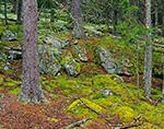 Moss-covered Rocks and Spruce Forest, Pretty Marsh Picnic Area, Acadia National Park, Mt. Desert Island, Mt. Desert, ME