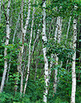 White Birches off The Loop Road, Acadia National Park, Mt. Desert Island, Bar Harbor, ME