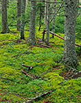 Moss-covered Ground in Spruce Forest near Seal Cove Road, Acadia National Park, Mt. Desert Island, Tremont, ME