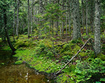 Bog and Spruce Forest Seal Cove Road, Acadia National Park, Mt. Desert Island, Tremont, ME