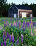 Lupines and Weathered Cedar-shingled Barn, Trenton, ME