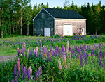 Lupines and Weathered Cedar-shingled Barn in Early Morning Light, Trenton, ME