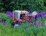 1955 Ford 700 Tractor in Field of Lupines, Mt. Desert Island,  Bar Harbor, ME